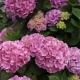 Des Hortensias ; un peu de couleur – Bleunoù-kaouled ; un tamm liv